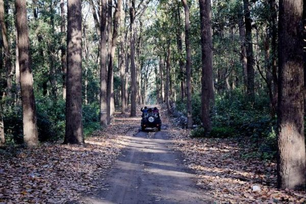 A jeep moving through Hemis NP through a road, trees on both sides